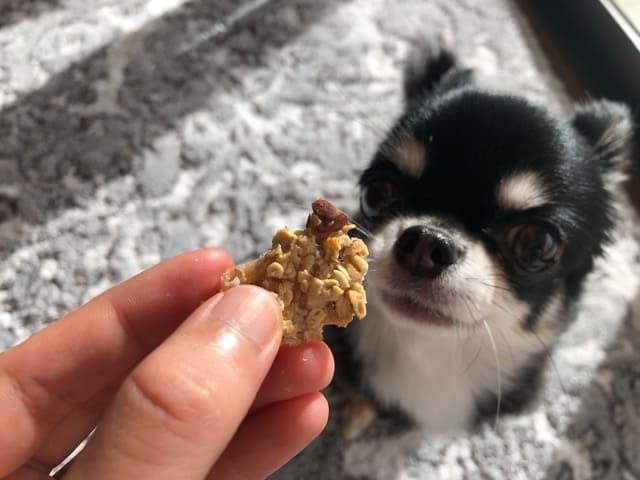 オートミールクッキーを見つめる愛犬